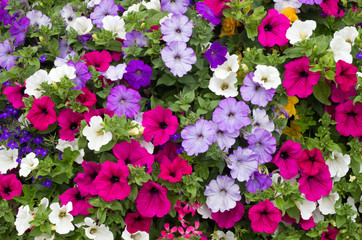 Colorful petunia flowers close up.