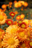 Fototapety Orange chrysanthemum flowers