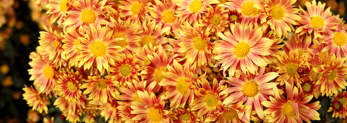 Bright chrysanthemum flowers