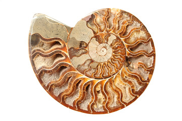 Ancient ammonite