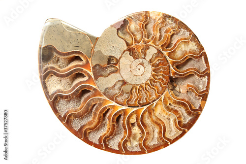 Ancient ammonite