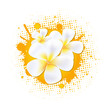 Flower Background With Frangipani