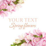 Spring floral background - pink flower isolated