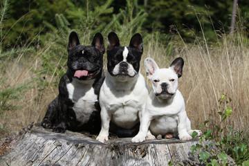 famille de bouledogues français