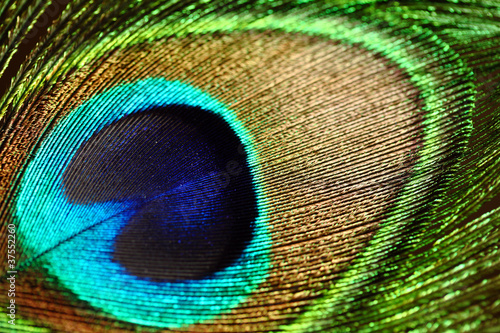 Close up of a peacock feather