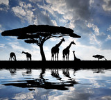 Fototapeta zwierzę - tło - Dziki Ssak