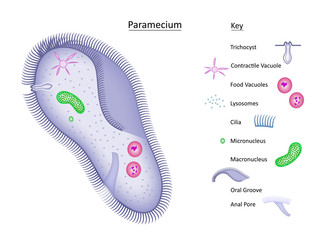 Paramecium with key