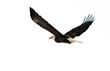The Bald Eagle (Haliaeetus leucocephalus)