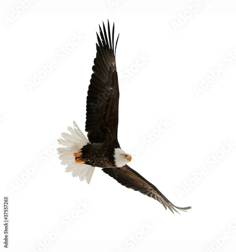Foto op Plexiglas Eagle The Bald Eagle (Haliaeetus leucocephalus)
