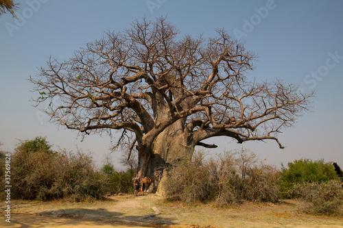 Fototapeten,baum,afrika,saeule,namibia