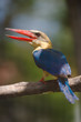 adult stork billed kingfisher