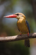 stork billed kingfisher frontal