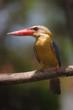 stork billed kingfisher frontal