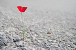 A Single red Poppy