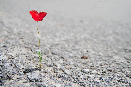 A Single red Poppy © Pupkis