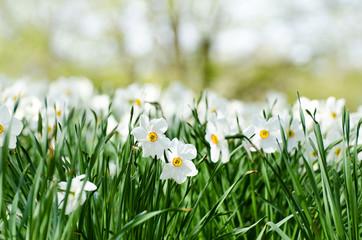 Osterglocken im Gras