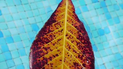 Fig Leaf swimming in Pool