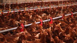 Chicken Farm, Poultry poster
