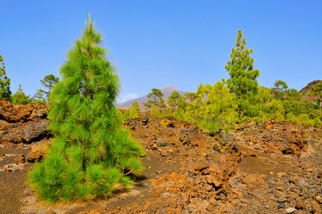 pine grove in Teide National Park, Tenerife, Canary Islands, Spa