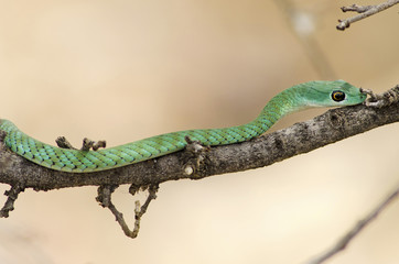 Green Mamba in the wild. Ruaha National Park, Tanzania