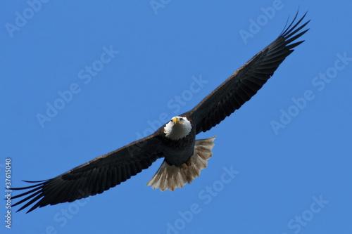 Foto op Canvas Eagle Bald Eagle In Flight