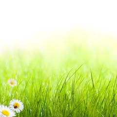 printemps, pâquerettes et coccinelle pelouse verte