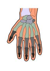 anatomie handknochen