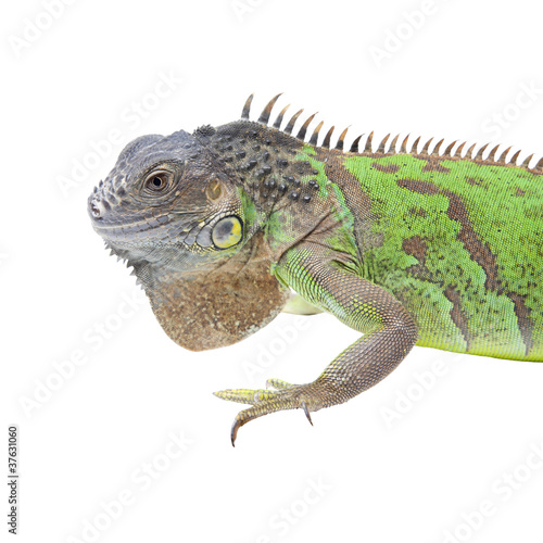 Iguana portrait isolated on white background