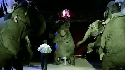 circo, gli elefanti