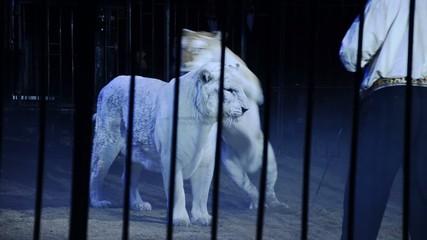 circo, le tigri