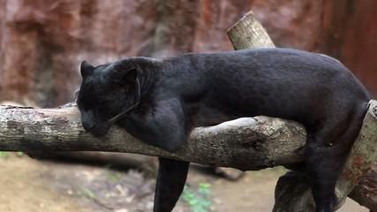 panthera sleeps