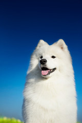 Beautiful samoyed dog