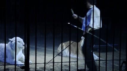 circo, il domatore di tigri