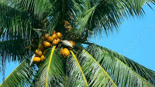Coconut palm with yellow nuts.