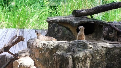 Meerkats in nature