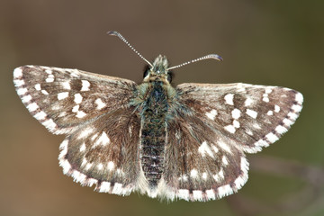 The Grizzled Skipper Pyrgus malvae