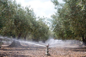 Irrigatori tra gli Ulivi