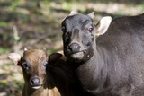 Young lowland anoa (Bubalus depressicornis) and its mother