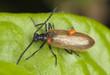 Lagria hirta with parasites, macro photo