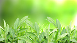 Green Nature plant with burred green background poster