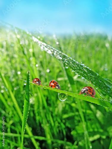 Foto op Plexiglas Lieveheersbeestjes three ladybirds in the grass