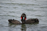 Black swans in courtship