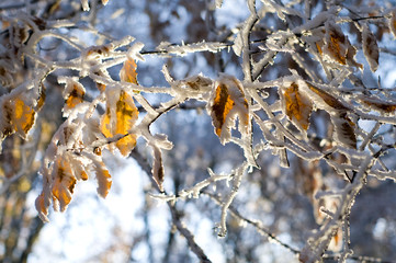 colorful leaves of the tree covered snow