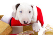 Bullterrier puppy with Santa hat in Christmas gift box