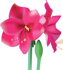 beautiful pink flower amaryllis