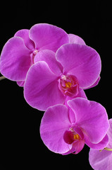 Branch of pink orchids isolated on black