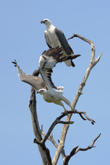 pair of sea eagles on a tree