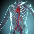 Leinwandbild Motiv Anatomie Modell, Herz-Kreislauf System des Menschen