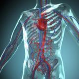 Fototapety Anatomie Modell, Herz-Kreislauf System des Menschen
