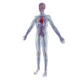 Anatomie Modell, Herz-Kreislauf System des Menschen